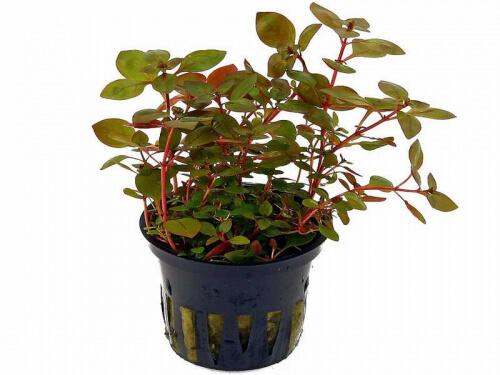 Ludwigia Palustris 'Super Red' - Kleine Tiefrote Ludwigie