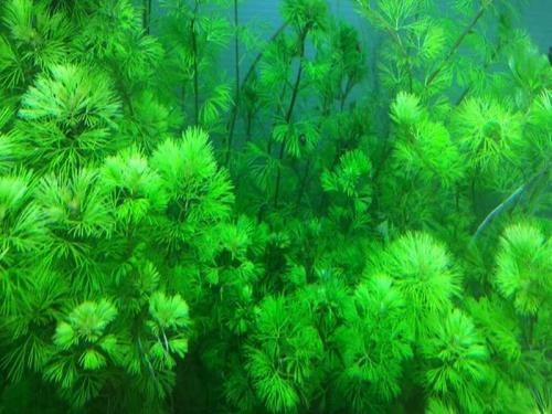 Cabomba Aquatica - Feinblättrige Riesenhaarnixe