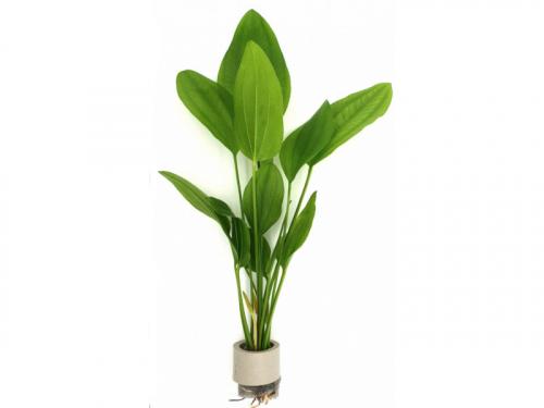 Echinodorus Radican günstig kaufen ✓ Zur Neueröffnung: Bis 50% Rabatt im Shop + Premium-Qualität frisch aus der Gärtnerei + große Auswahl + Express-Versand
