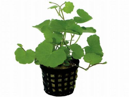 Hydrocotyle Leucocephala ab 1,99 € online kaufen | Pflege & Details