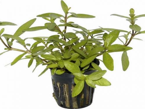 Hygrophila Polysperma günstig kaufen ✓ Zur Neueröffnung: Bis 50% Rabatt im Shop + Premium-Qualität frisch aus der Gärtnerei + große Auswahl + Express-Versand