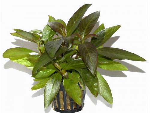 Hygrophila Siamensis ab 1,99 € online kaufen | Pflege & Details