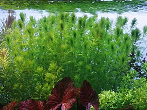 Myriophyllum Scabratum jetzt ab 1,99 € kaufen