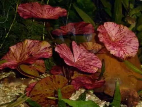 Nymphaea Lotus jetzt ab 2,99 € kaufen