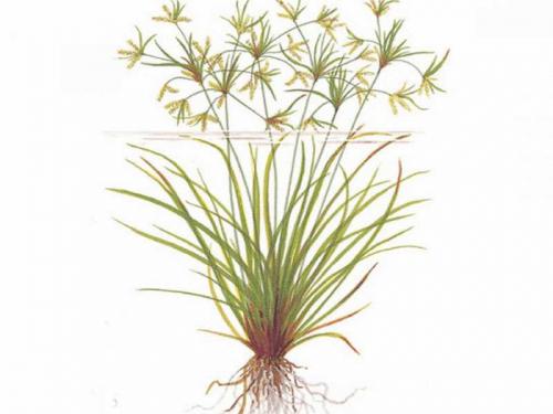 Cyperus Helferi jetzt ab 1,99 € kaufen