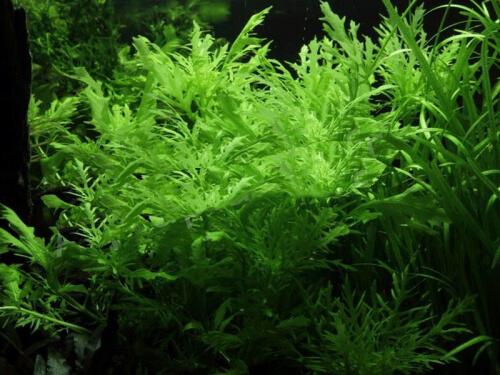 Hygrophila Difformis günstig kaufen ✓ Zur Neueröffnung: Bis 50% Rabatt im Shop + Premium-Qualität frisch aus der Gärtnerei + große Auswahl + Express-Versand