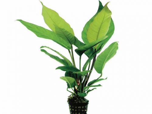 Anubias Heterophylla jetzt ab 4,99 € kaufen