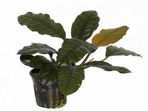 Anubias Barteri Coffeifolia jetzt ab 7,99 € kaufen