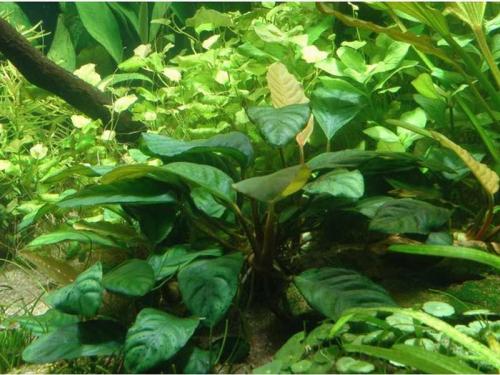 Anubias Barteri Caladiifolia jetzt ab 5,99 € kaufen