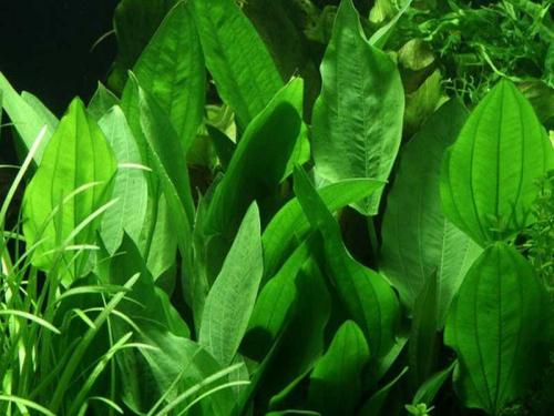 Echinodorus Palaefolius jetzt ab 4,99 € kaufen