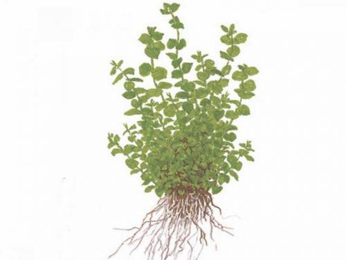 Micranthemum Umbrosum jetzt ab 4,99 € kaufen