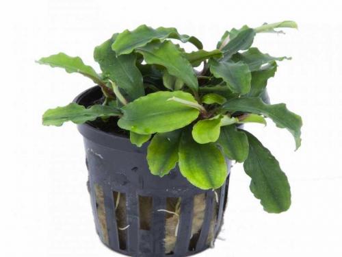 Bucephalandra 'Wavy Green' jetzt ab 5,99 € kaufen