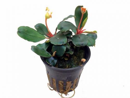 Bucephalandra sp. \'Red\' jetzt ab 5,99 € kaufen