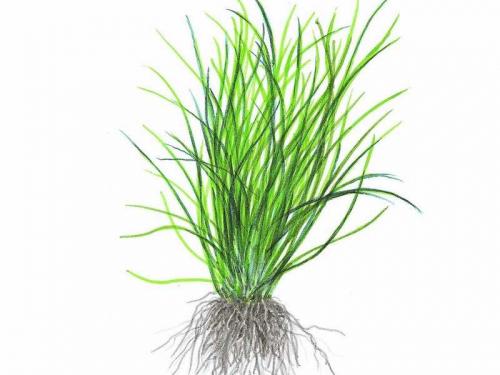 Lilaeopsis Novae-Zelandiae jetzt ab 4,99 € kaufen