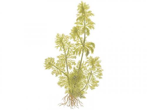 Limnophila Sessiliflora jetzt ab 4,99 € kaufen