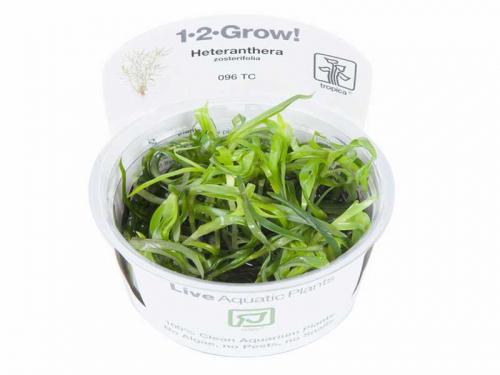 Heteranthera Zosterifolia jetzt ab 4,99 € kaufen