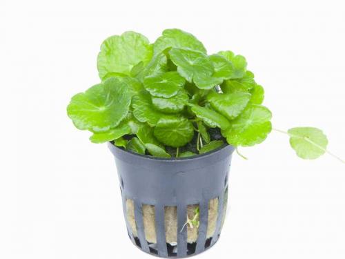 Hydrocotyle Verticillata jetzt ab 4,99 € kaufen