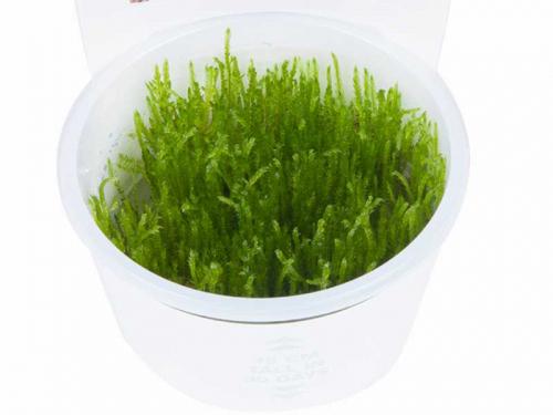 Taxiphyllum 'Spiky' - Spiky-Moos jetzt ab 5,99 € kaufen