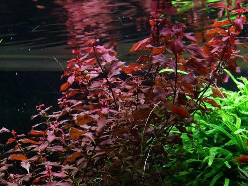 Ludwigia Palustris Super Red - Kleine Tiefrote Ludwigie