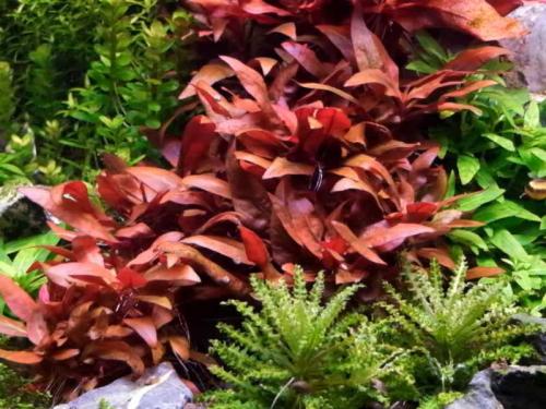 Alternanthera Lilacina - Rotes Papageienblatt