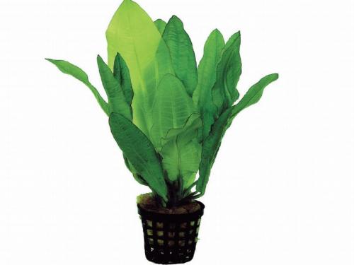 Echinodorus Major - Gewelltblättrige Schwertpflanze