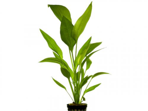 Echinodorus Parviflorus - Schwarze Amazonas-Schwertpflanze