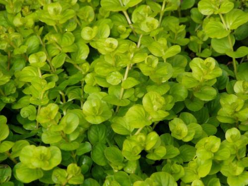 Lysimachia Nummularia Aurea - Gelbes Pfennigkraut