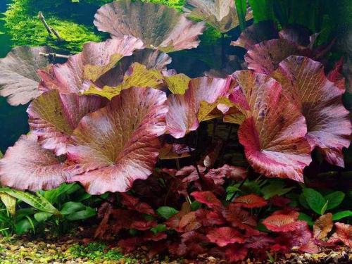 Nymphaea Lotus  - Roter Tigerlotus