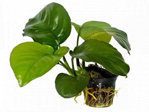 Anubias Barteri var. Caladiifolia - Caladium-blättriges Speerblatt