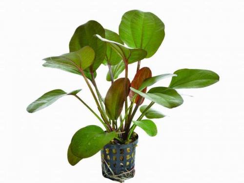Echinodorus Osiris Rubra - Osiris-Schwertpflanze
