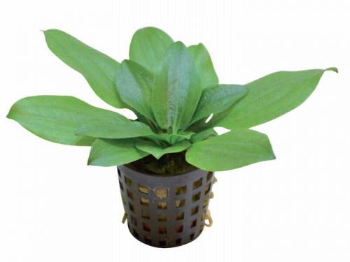 Echinodorus Gabrielii - Gabriels Schwertpflanze
