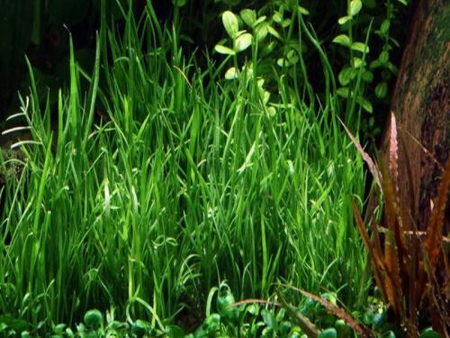 Lilaeopsis Mauritiana - Mauritius Graspflanze