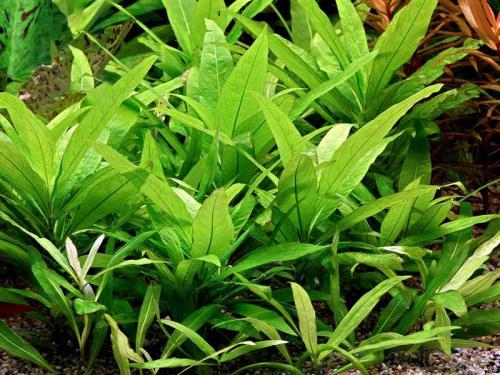 Hygrophila Corymbosa - Großes Kirschblatt