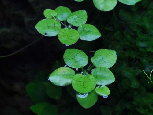 Limnobium Laevigatum - Südamerikanischer Froschbiss